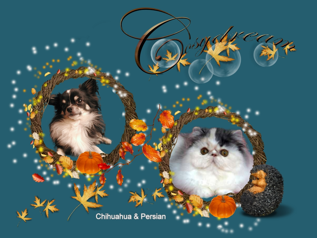 welcome to Cosydream Persians and Chihuahuas